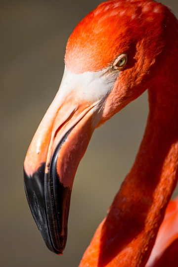 flamingo_8923